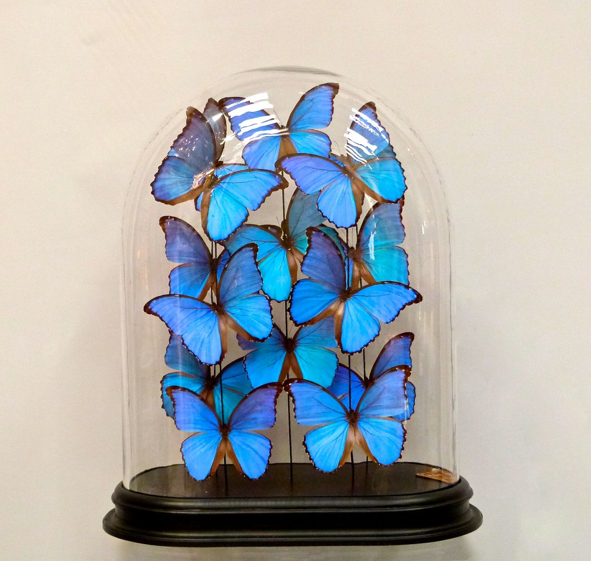 A Glass Dome Of Bright Blue Butterflies Stock